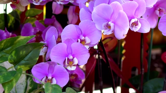 Closeup of beautiful pink orchid. The shooting location is in the temple.