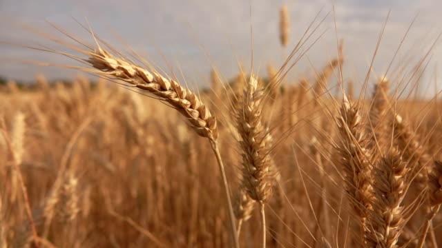 close-up of beautiful ripe yellow wheat in a field - gospodarstwo ekologiczne filmów i materiałów b-roll