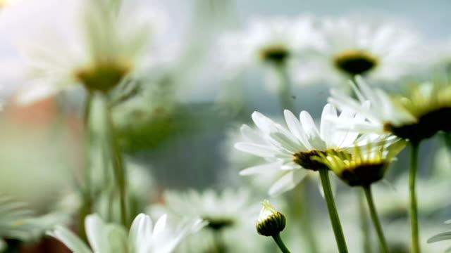 vídeos y material grabado en eventos de stock de primer plano de flores de manzanilla blanco hermoso - manzanilla