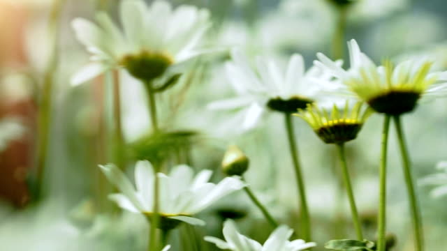 Close-up of beautiful white chamomile flowers video