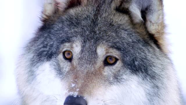 närbild av vackra wolf ögon i vilt - päls textil bildbanksvideor och videomaterial från bakom kulisserna