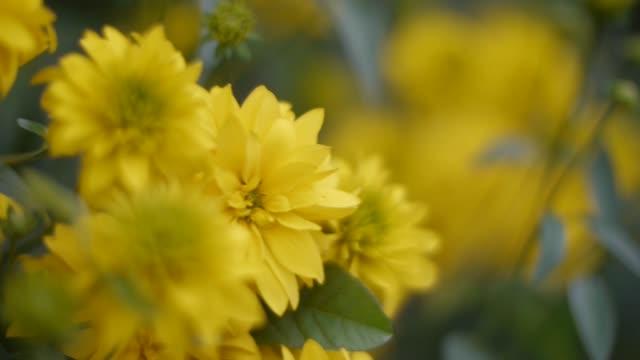 vídeos y material grabado en eventos de stock de closeup de hermosas flores amarillas en el jardín. clip. flores amarillas en un prado verde - ojo morado