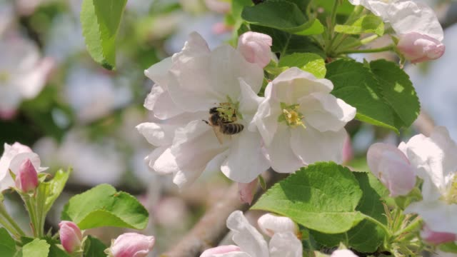 closeup of bee collects honey in blooming white and pink apple flowers - цветение яблони стоковые видео и кадры b-roll