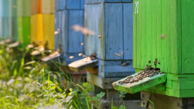 closeup of bees enetre to yellow beehive in sunny day, poland - alveare video stock e b–roll