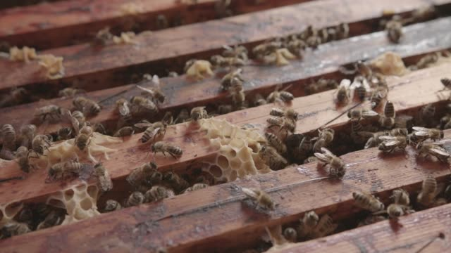 close-up of bees on a bee farm - ape regina video stock e b–roll