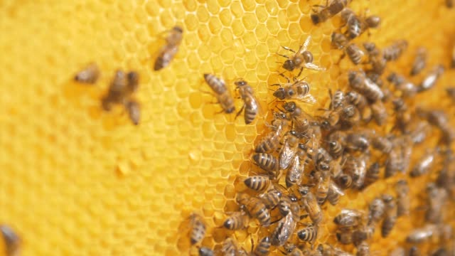 closeup of bees on honeycomb in apiary .selective focus slow motion video. Bee lifestyle honeycombs with honey and bees. Apiculture concept - vídeo