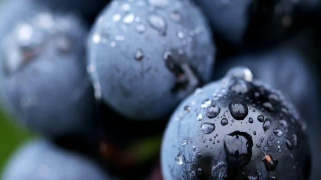 close-up of berries of blue grapes after rain - azienda vinivola video stock e b–roll