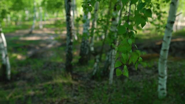 vídeos de stock, filmes e b-roll de close-up de galho de árvore de vidoeiro em 4k - bétula