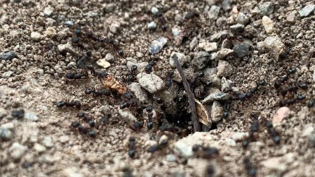 vidéos et rushes de close-up de fourmis noires allant dans et hors de leur nid de saleté/colonie souterrain à l'extérieur - insecte
