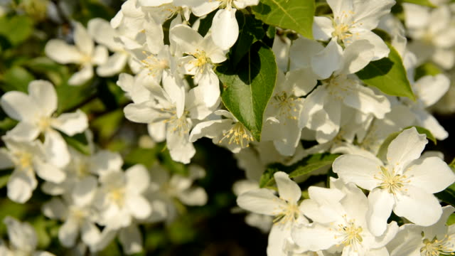 Close-up of blooming apple tree video