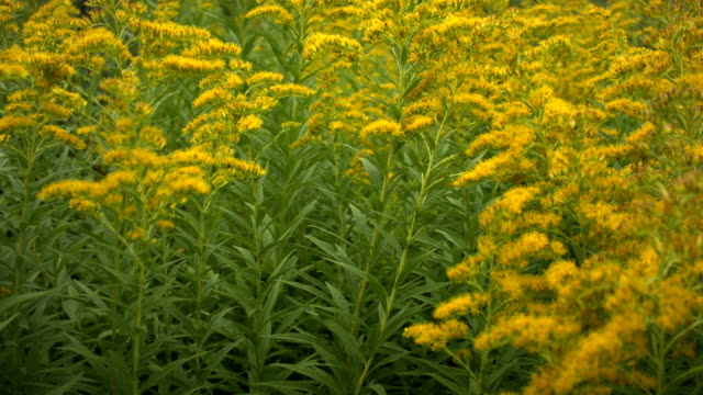 vídeos y material grabado en eventos de stock de primer plano de la floreciente ambrosía en el viento en el otoño. - hierba planta
