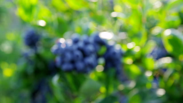Closeup of blueberries on bush video