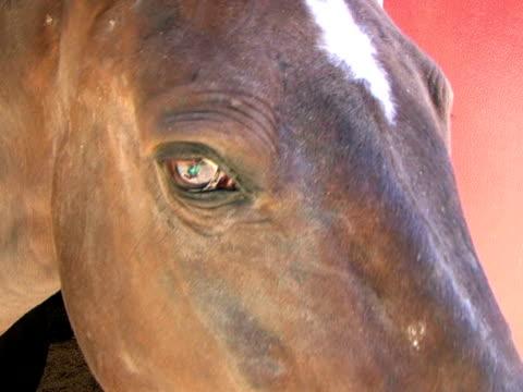 nahaufnahme von braunes pferd's head (hd_link_below - pferdeartige stock-videos und b-roll-filmmaterial