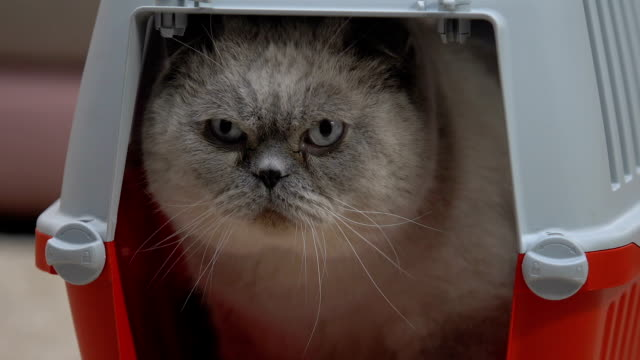 Closeup of calm cat sitting comfortably in carrier, safe pet travel kennel