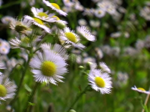 Closeup of chamomiles in the breeze video
