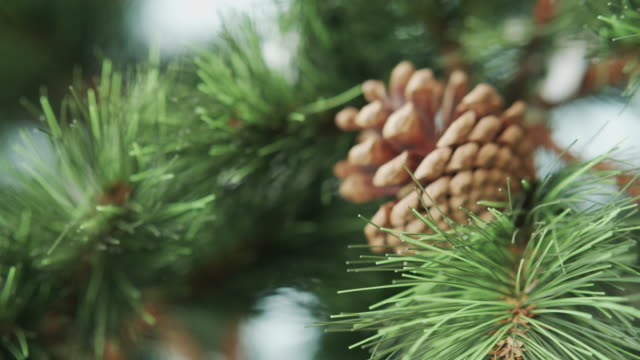 Close-up of Christmas tree  and  fir cones