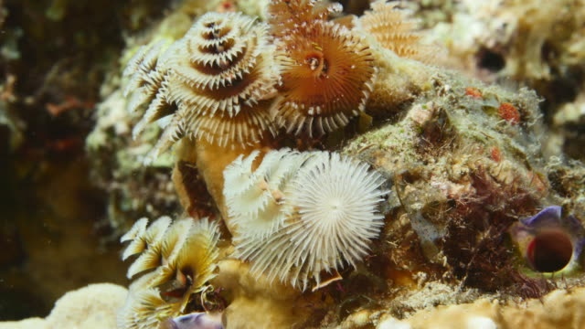 Close-up of Christmas Tree Worm as a part of the coral reef in the Caribbean Sea around Curacao Close-Up in coral the reef around Curaçao /Netherlands Antilles cleaner shrimp stock videos & royalty-free footage