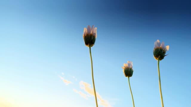 närbild av slutna vita öken präst kragar vajande försiktigt i vinden utomhus under en clear sky vid solnedgången - vild blomma bildbanksvideor och videomaterial från bakom kulisserna