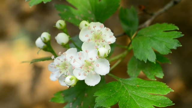 Close-up of common hawthorn flowers stirred by wind in spring video