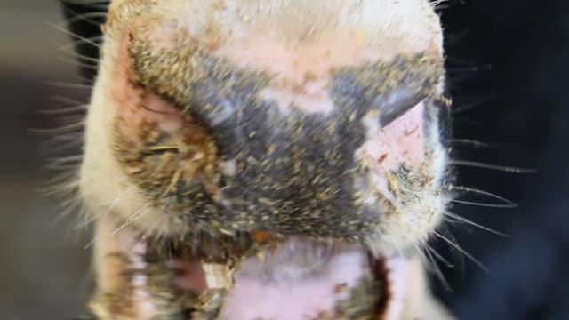 close-up of cow chewing food - żywy inwentarz filmów i materiałów b-roll