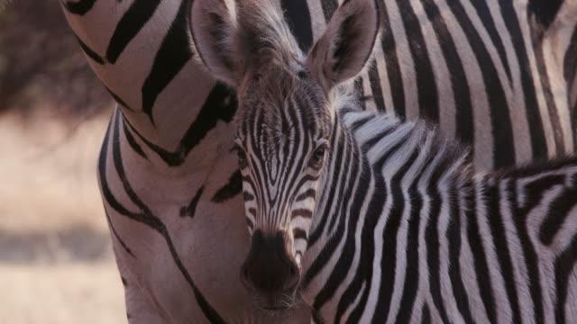 close-up of cute baby zebra foal and mother - молодое животное стоковые видео и кадры b-roll