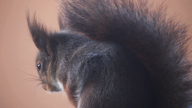 Closeup of cute grey and red squirrel video