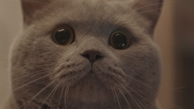 close-up of cute grey fluffy cat's face looking at the camera. stock footage. domestic animals concept - gatto soriano video stock e b–roll