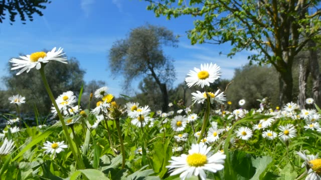 vídeos y material grabado en eventos de stock de primer plano de flores de margaritas en primavera - manzanilla