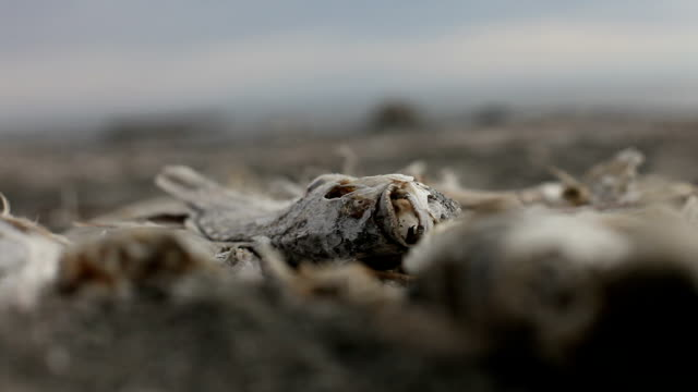 Close-up of dead fish surrounded by bones video