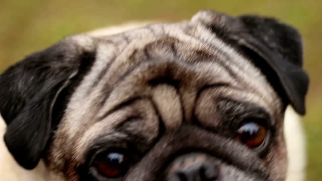 Close-up of dog's faithful eyes, wrinkly pug looking up, waiting for command video