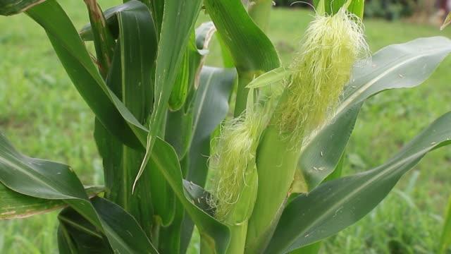 vidéos et rushes de plan rapproché de l'oreille de maïs avec l'enveloppe et la soie - tige d'une plante