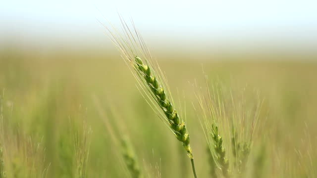 Closeup of ear wheat on wind - Shallow focus video