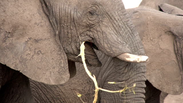 stockvideo's en b-roll-footage met close-up of elephant stripping and eating bark of a tree branch - schors