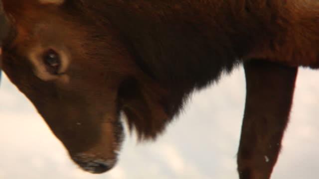 Close-up of Elk (wapiti) Fighting video