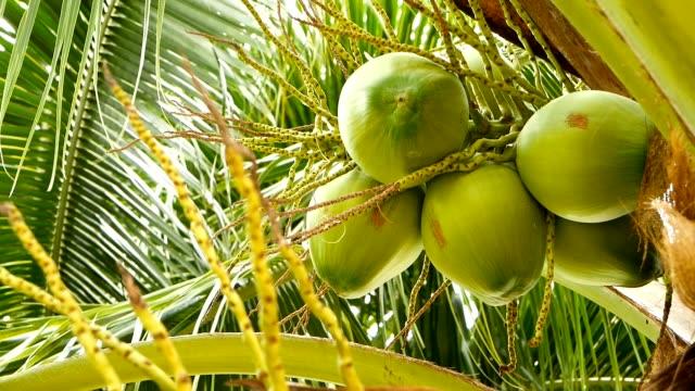 vídeos de stock, filmes e b-roll de close-up de verde palmeira exótica deixa com cluster de fruta jovem fresco coco redondo com leite dentro. textura natural. símbolo tropical. planta perene de verão. comida saudável vegetariana orgânica. - punhado