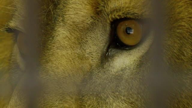動物園で危険な雄ライオンの目のクローズ アップ - 動物の身体各部点の映像素材/bロール