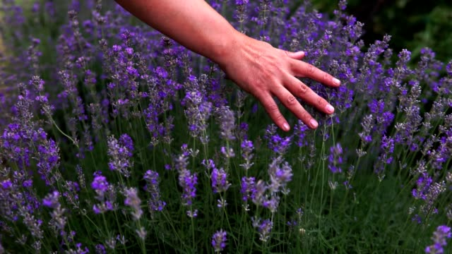 close-up of female hands softly touching blooming lavender flowers on sunny summer day. female hand gently running over the tops of lavender bushes in bloom in countryside during vacations. - ludzka kończyna filmów i materiałów b-roll