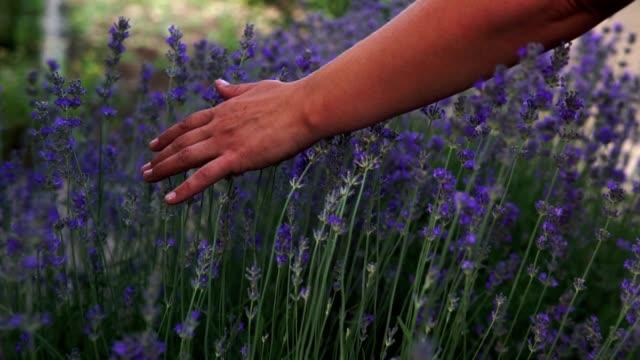 vidéos et rushes de plan rapproché des mains femelles touchant doucement fleurs de lavande fleuries le jour ensoleillé d'été. main femelle courant doucement au-dessus des buissons de lavande en fleur dans la campagne pendant des vacances. - bras humain