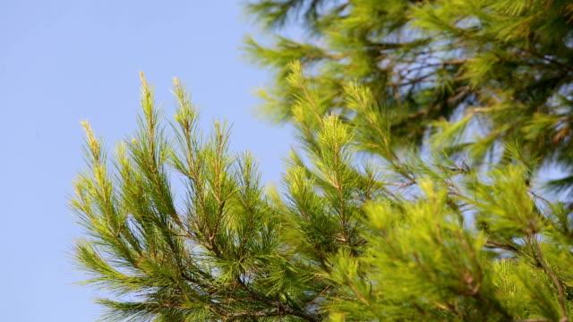 Closeup of fir tree video
