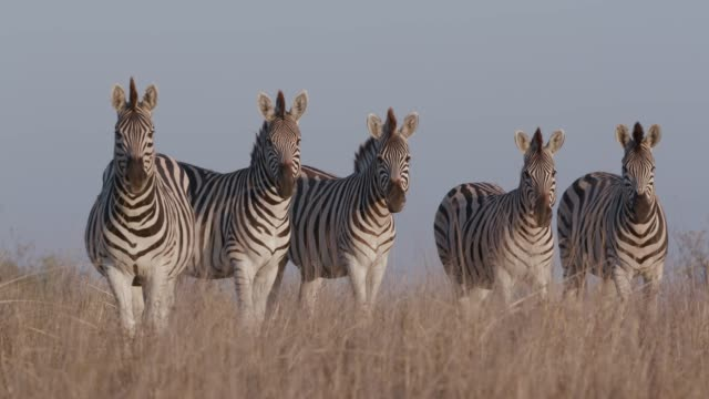 Close-up of five zebras standing and grazing in the Makgadikgadi grasslands, Botswana Close-up of five zebras standing and grazing in the Makgadikgadi grasslands, Botswana makgadikgadi pans national park stock videos & royalty-free footage