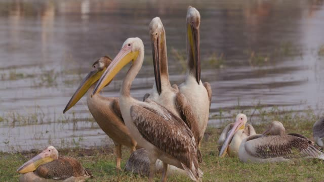 Close-up of four pink-backed pelicans preening on the rivers edge in the Okavango Delta, Botswana video