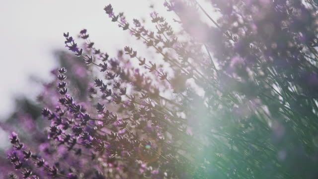 close-up of fresh lavender flowers on field - rack focus video stock e b–roll