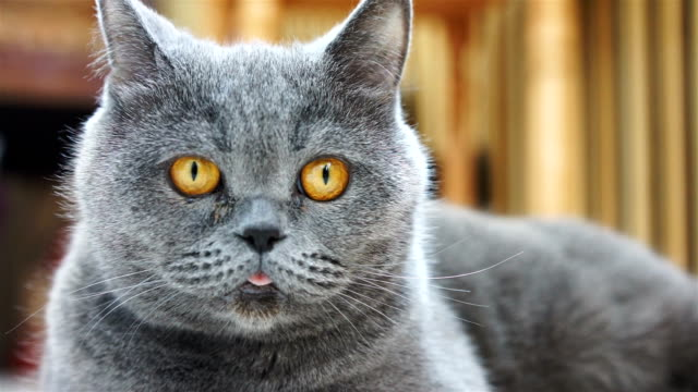 Close-up of funny cat face with yellow eyes and pink tongue, British Shorthair video