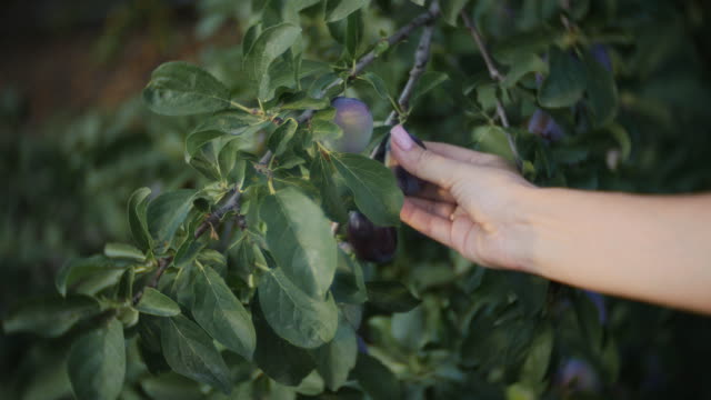 Close-up of girl's hand to pluck the plums from the branch of a plum tree Plum tree Laden with ripe fruit plum stock videos & royalty-free footage