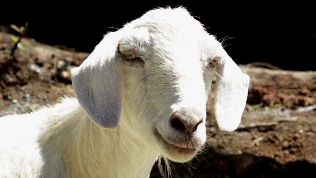 Closeup of Goat Chewing and Twitching video