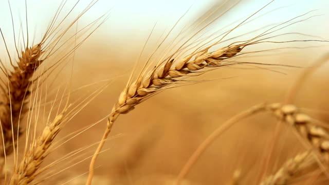 Closeup of gold wheat corn on wind - Shallow focus video