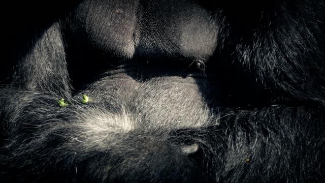 食べるとゴリラの腕のクローズ アップ ビデオ