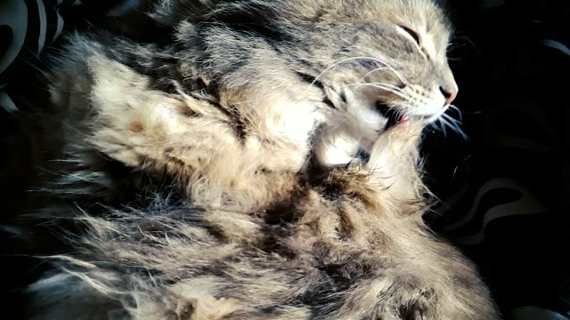 closeup of gray fluffy domestic cat licking its hair in slow motion - gatto soriano video stock e b–roll