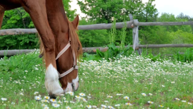 Close-up of grazing horse on the meadow video