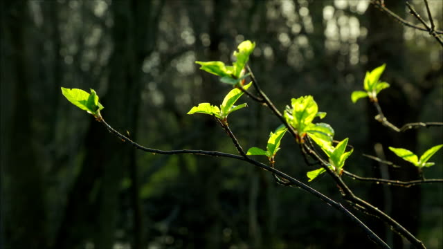 Closeup of green buds with little leafs on branches